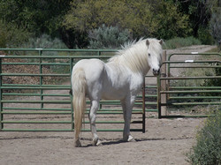 Our beautiful breeding mare Blue