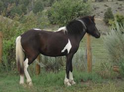 Skrugga from Hestar Ranch