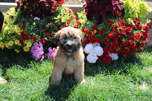 Willow-Soft Coated Wheaten Terrier