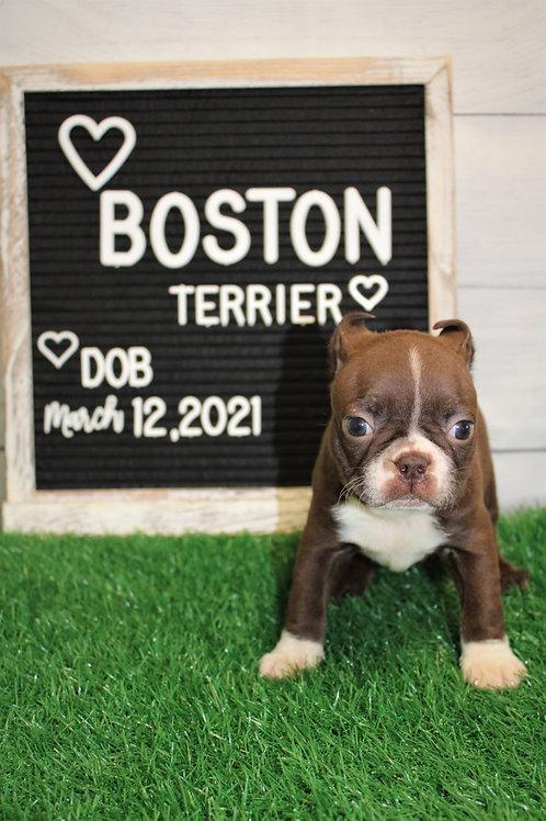 Diamond-Boston Terrier