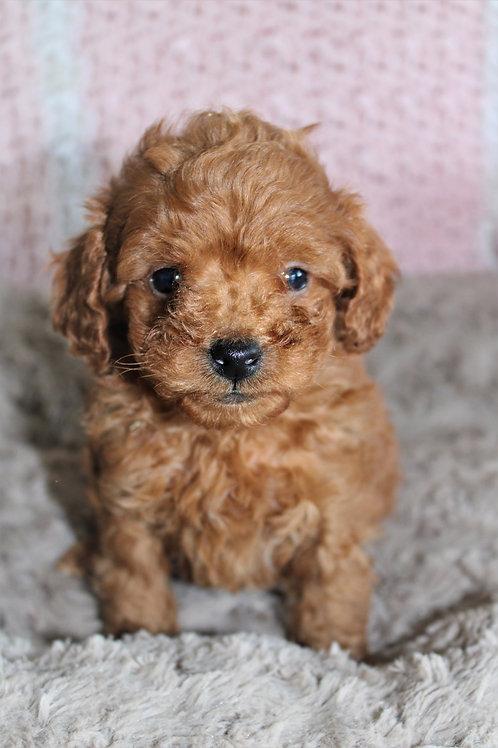 Jonas-Toy Poodle