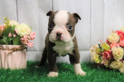 Tabby- Boston Terrier