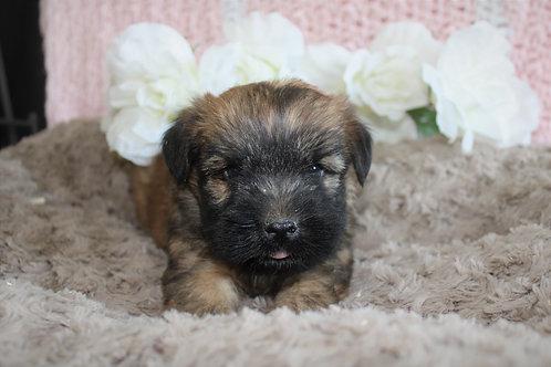 Izzy-Soft Coated Wheaten Terrier