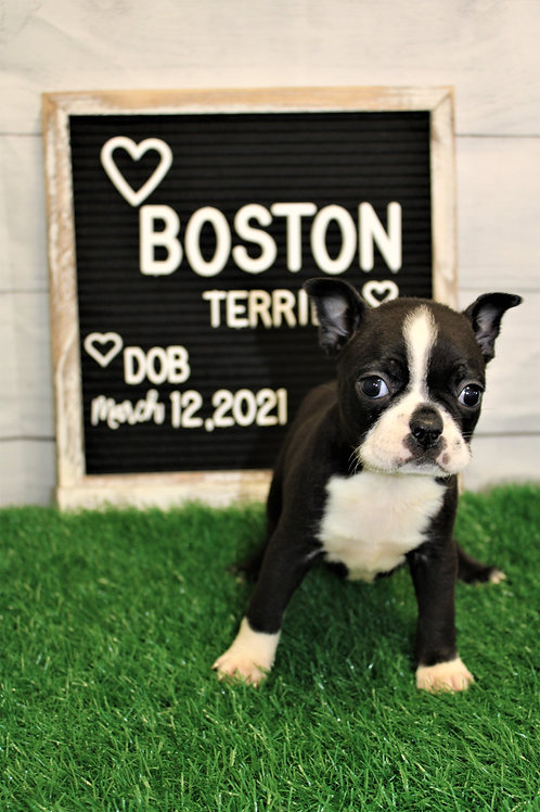 Darlin-Boston Terrier