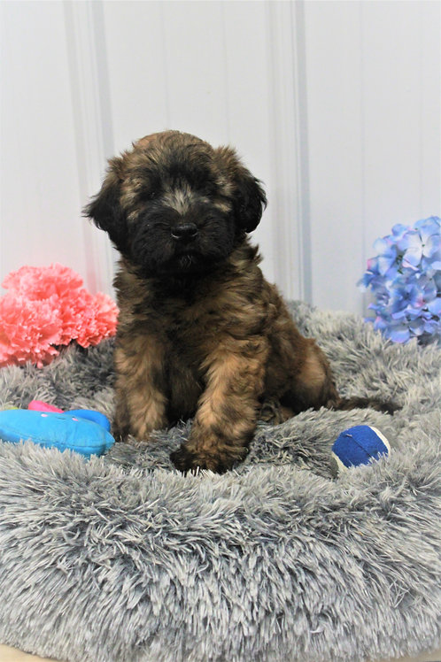 Richard-Soft Coated Wheaten Terrier