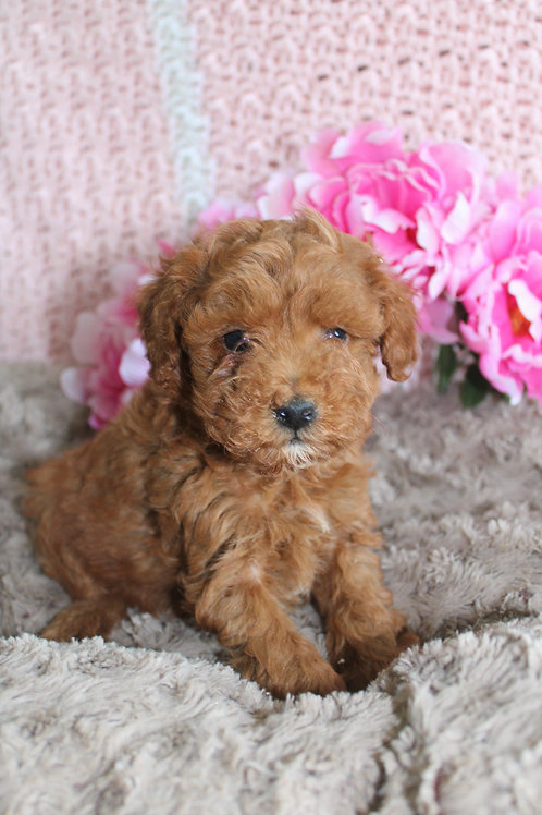 Red-Toy Poodle