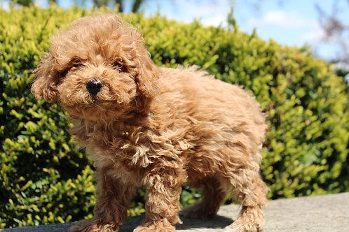 Romeo-Toy Poodle