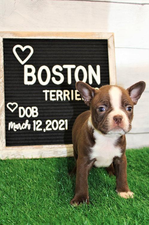 Dack-Boston Terrier