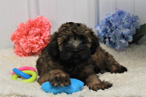 Ralph-Soft Coated Wheaten Terrier