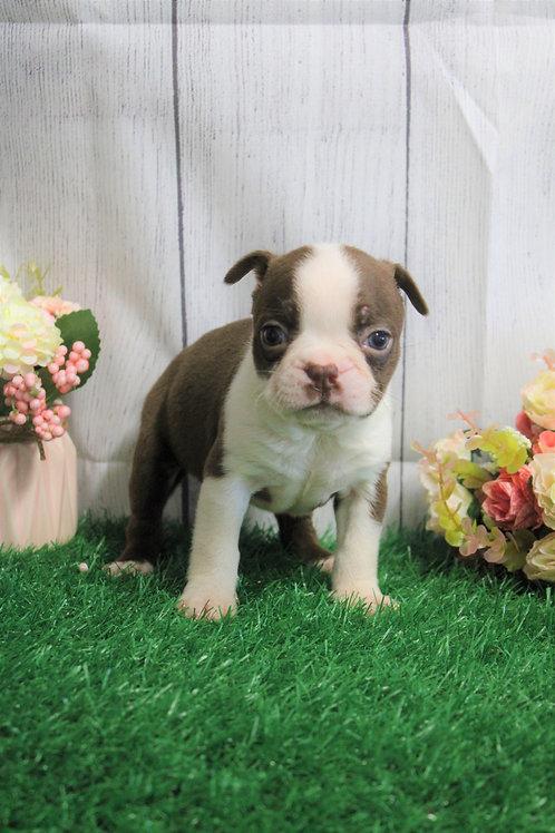 Tilly- Boston Terrier