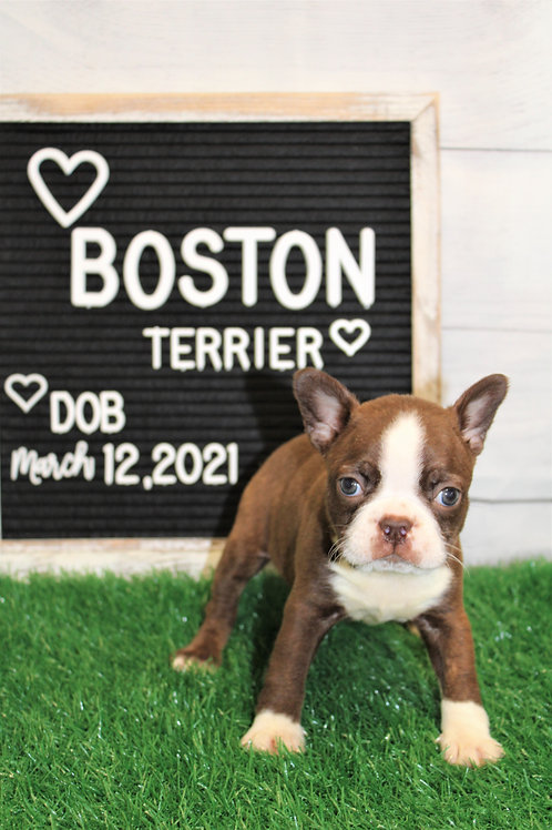 Dawn-Boston Terrier