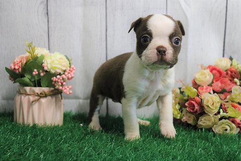 Tina- Boston Terrier