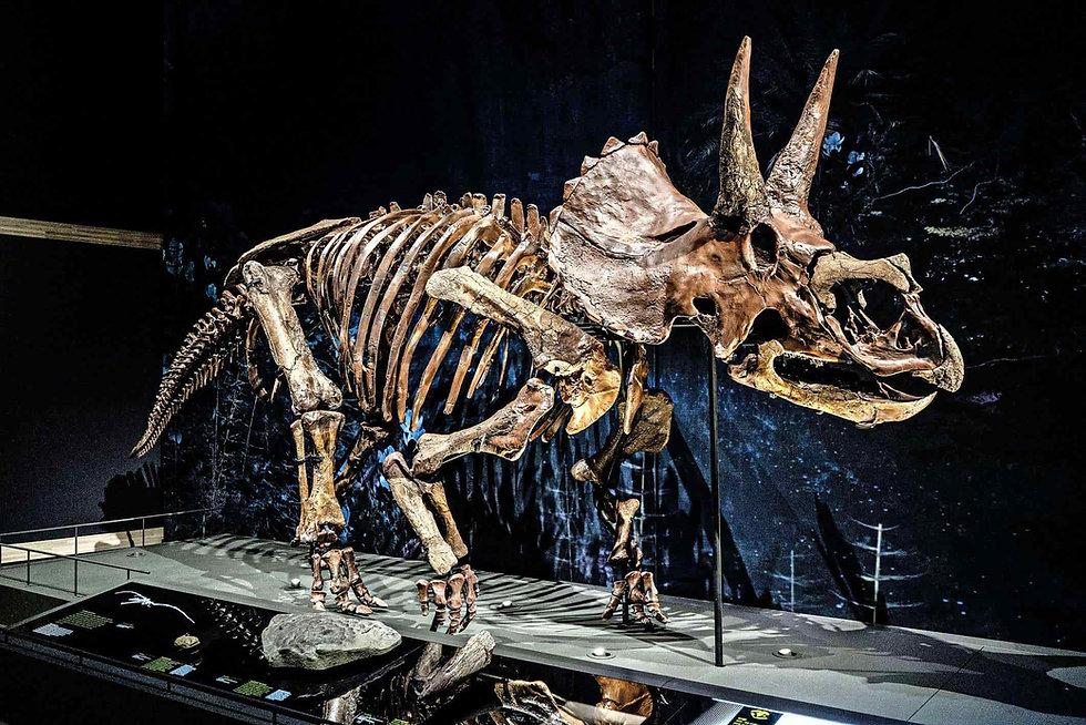 Dirk - Triceratops skeleton in Naturalis