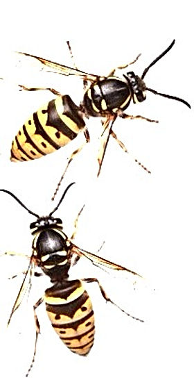 Pest Control for Wasp and Hornets Nests
