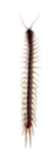 Centipede Exterminators