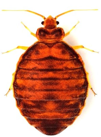 Bed Bug Inspection & Removal