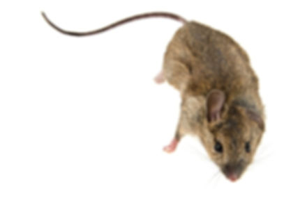 Residential & Commercial Mouse Exterminators