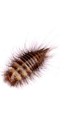 Carpet Beetle Exterminators