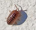 Sow Bug Extermination