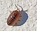 Sow Bug Extermination