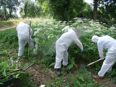 Gestion de plantes invasives aux abords des cours d'eau
