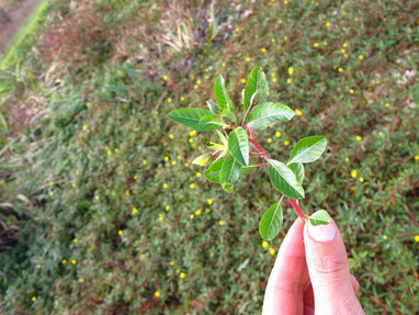 Gestion de plantes invasives : la Jussie peploides à Avord