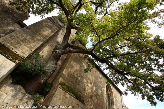Chêne de Cheillé