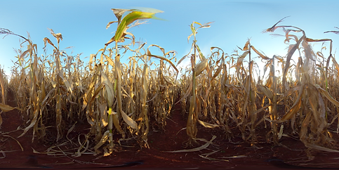 Image 11 - Corn Field - Dry - Short .png