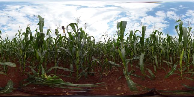 Image 3 - Corn Field - Short VID_2019_05