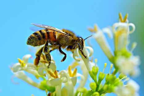 honey-bee-4314838_1920.jpg