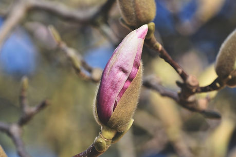 magnolia-5964178_1920.jpg