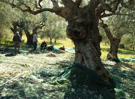 Chasing Olive Oil
