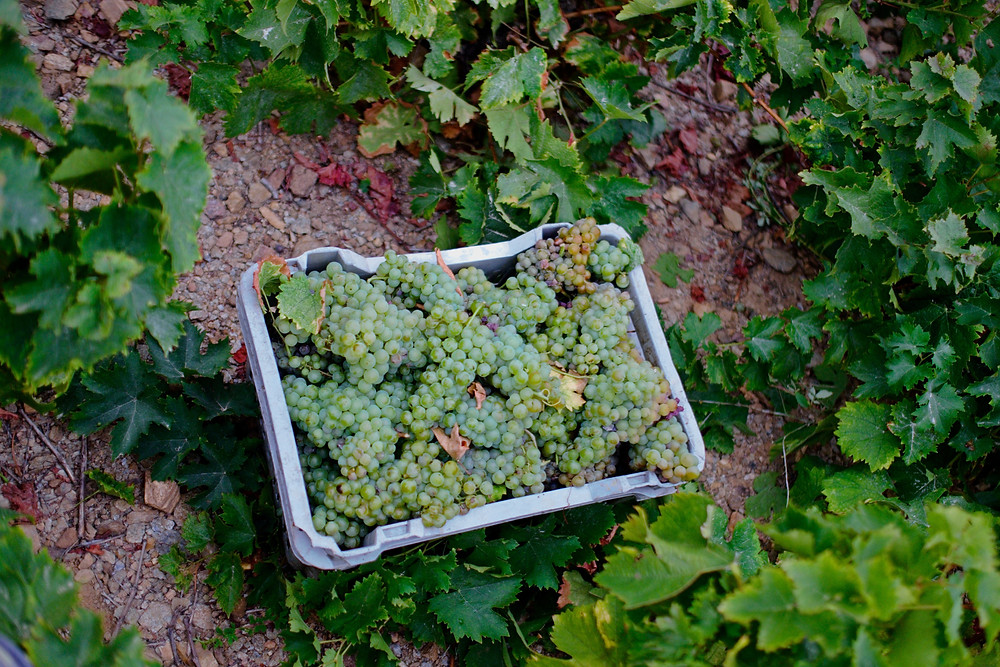 Wander by Paris moscato grapes harvest samos