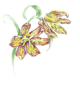 Chocolate Lily (fritillari) copy.jpg