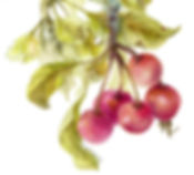 Crabapples Thumbnail copy.jpg