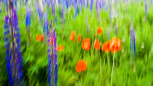 Poppies Lupin
