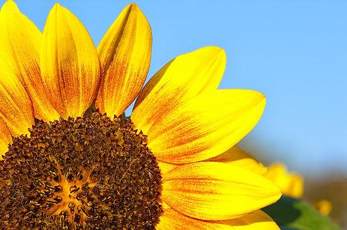 Seeds of a Sunflower
