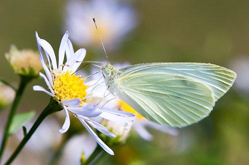 Joys Butterfly