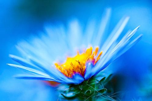 Blue Ridge Daisy
