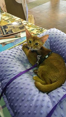Red Kitten at Meet the Breeds.jpg