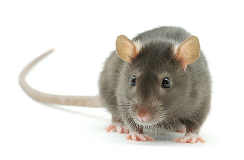 funny rat  isolated on white background.jpg