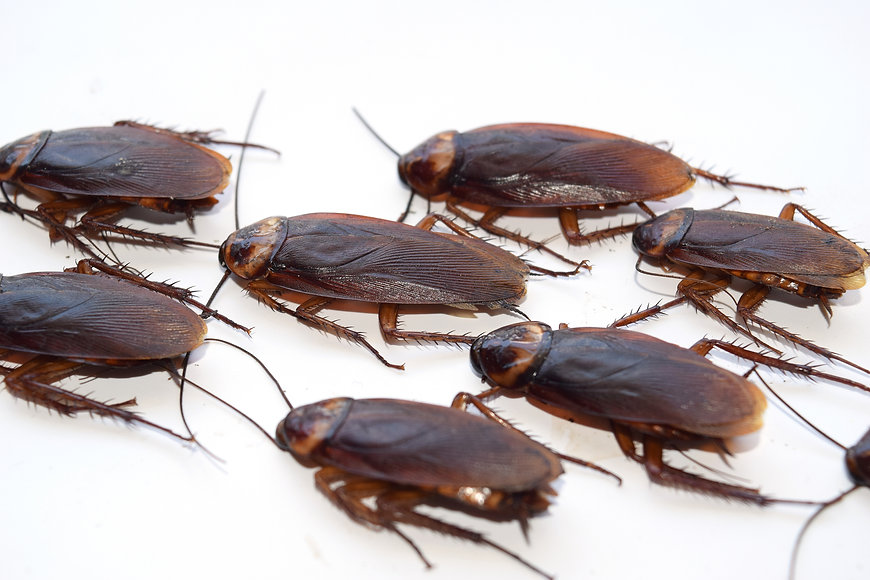 Group walk cockroach isolate on white background.jpg