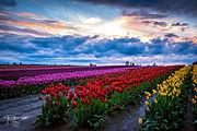 Tulip_Town_Pam_Headridge.jpg