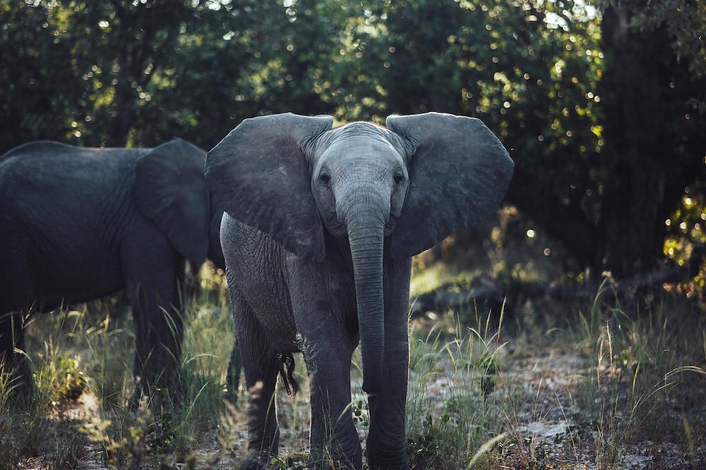 Baby-Elefant in Botswana