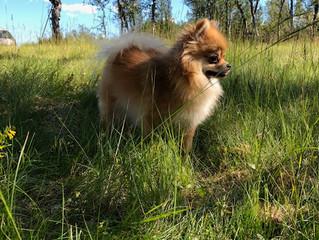 Sprer seg: VIKTIG INFORMASJON FOR DERE MED HUND Dødelig hundesykdom oppdaget flere steder i landet