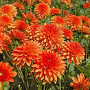 orange dahlias.Jpg