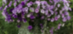 Light%20Purple%20%26%20White%20with%20Trailing%20Vine_edited.jpg