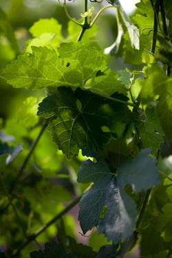 Vines 1.jpg