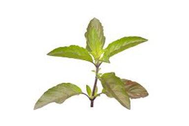 Fresh 250gm Shyama Tulsi leaves