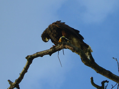 Hawk Walk - Child